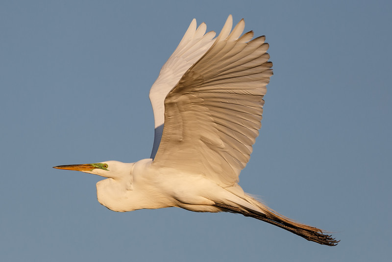 Great White Egret in Flight-