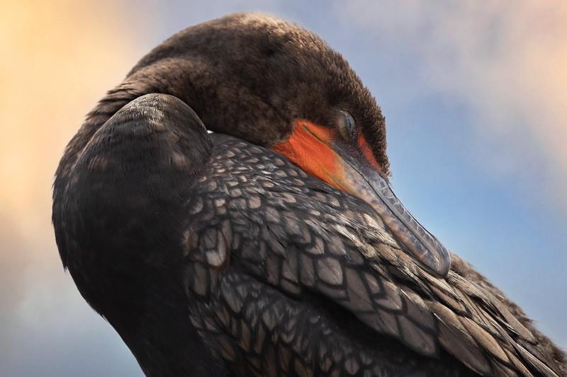 Cormorant Sleeping