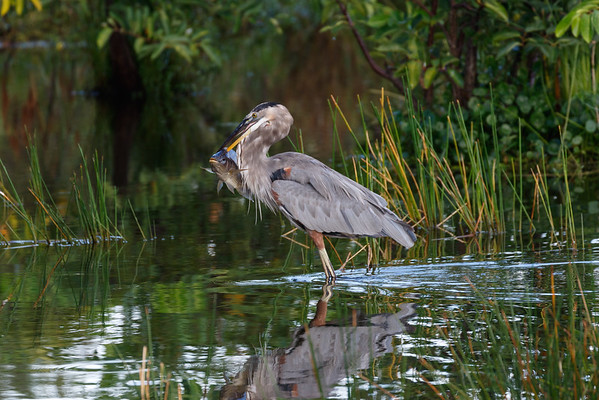 Great Blue Heron Hunting-9077