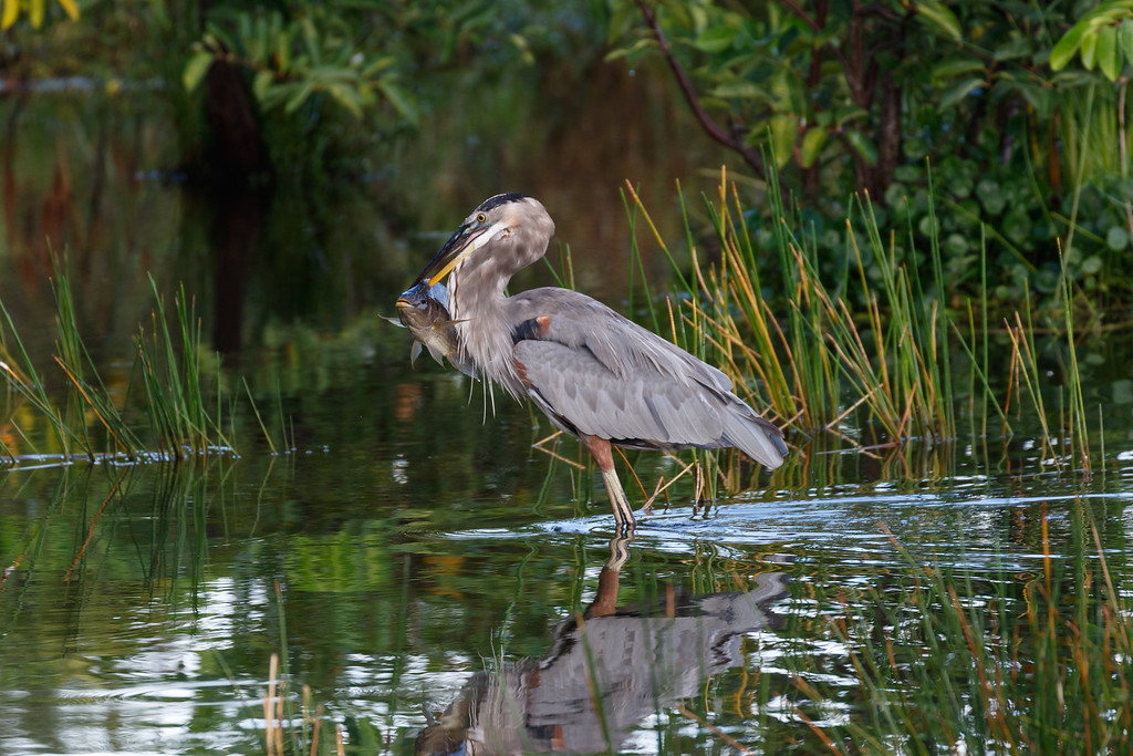 Great Blue Heron Hunting-9077