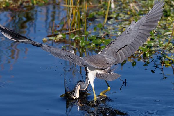 Little Blue Heron-4642