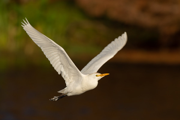 Cattle Egret in Flight-4927