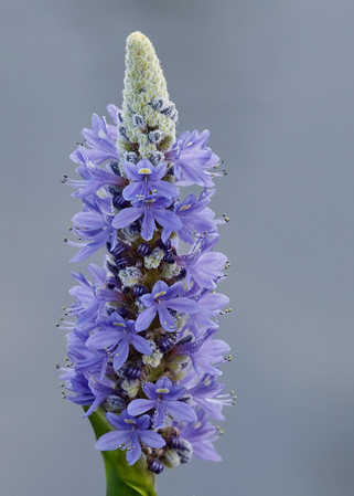 Pickerelweed-2302-Edit