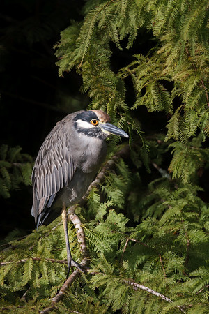Yellow Crowned Night Heron-9557
