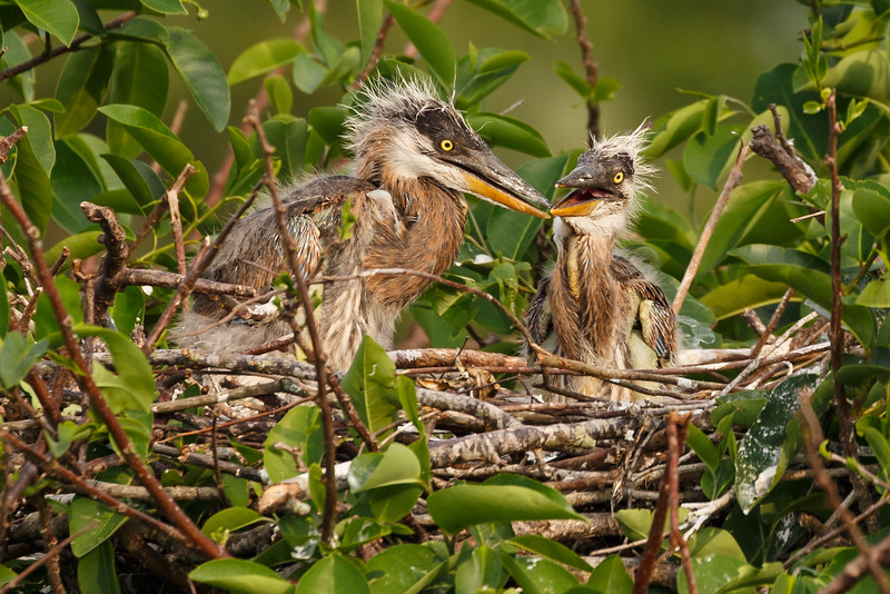 Great Heron Chicks-5110