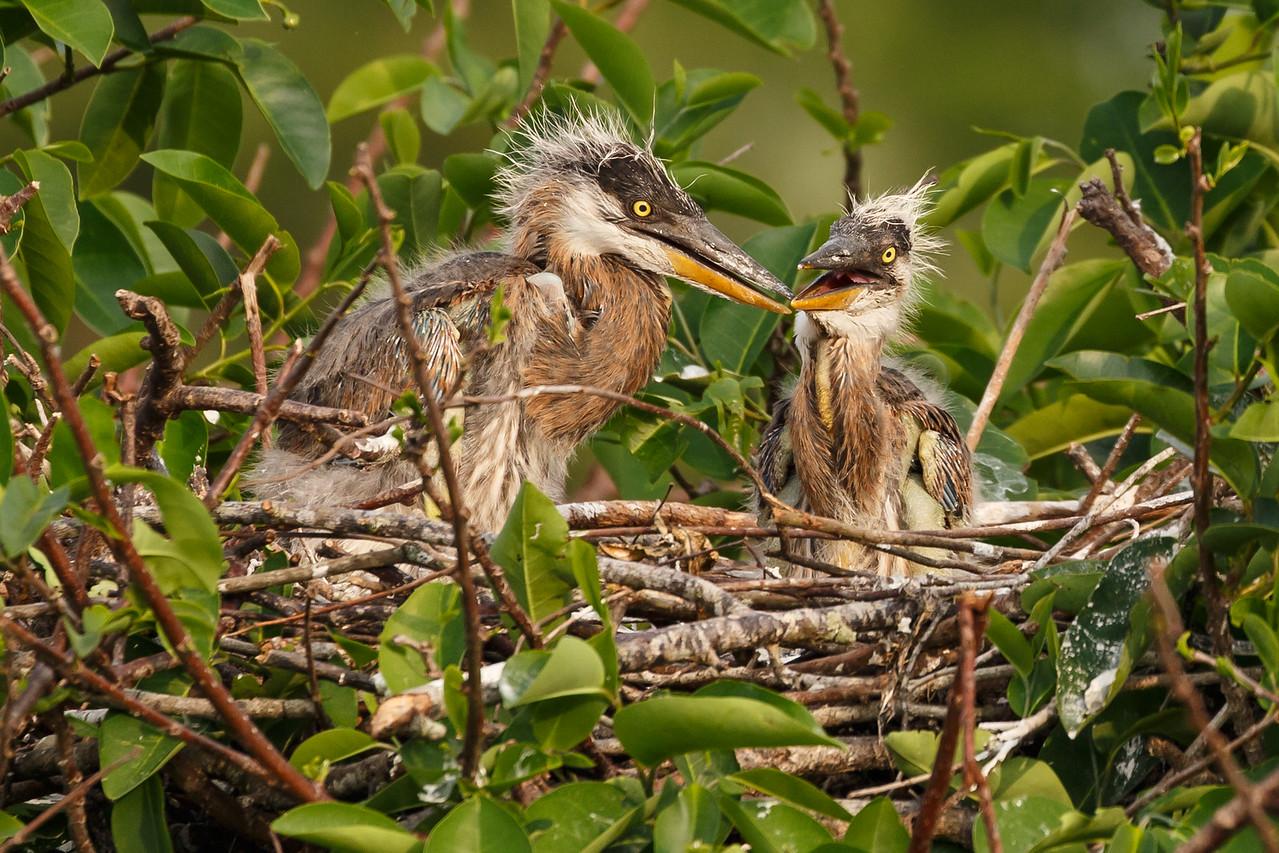 Great Heron Chicks-5110