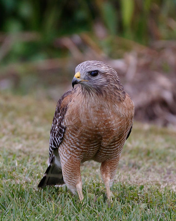 Red Shouldered Hawk-1959