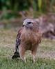 Red Shouldered Hawk-1959