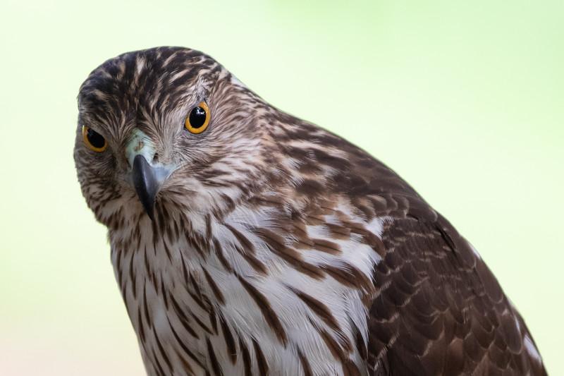 Immature Hawk-6222