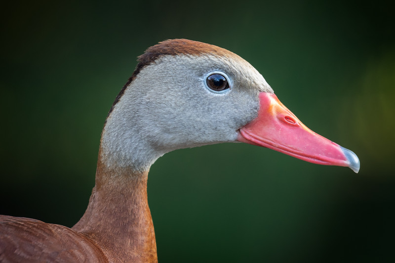 Profile of Black Bellied Whistling Duck-