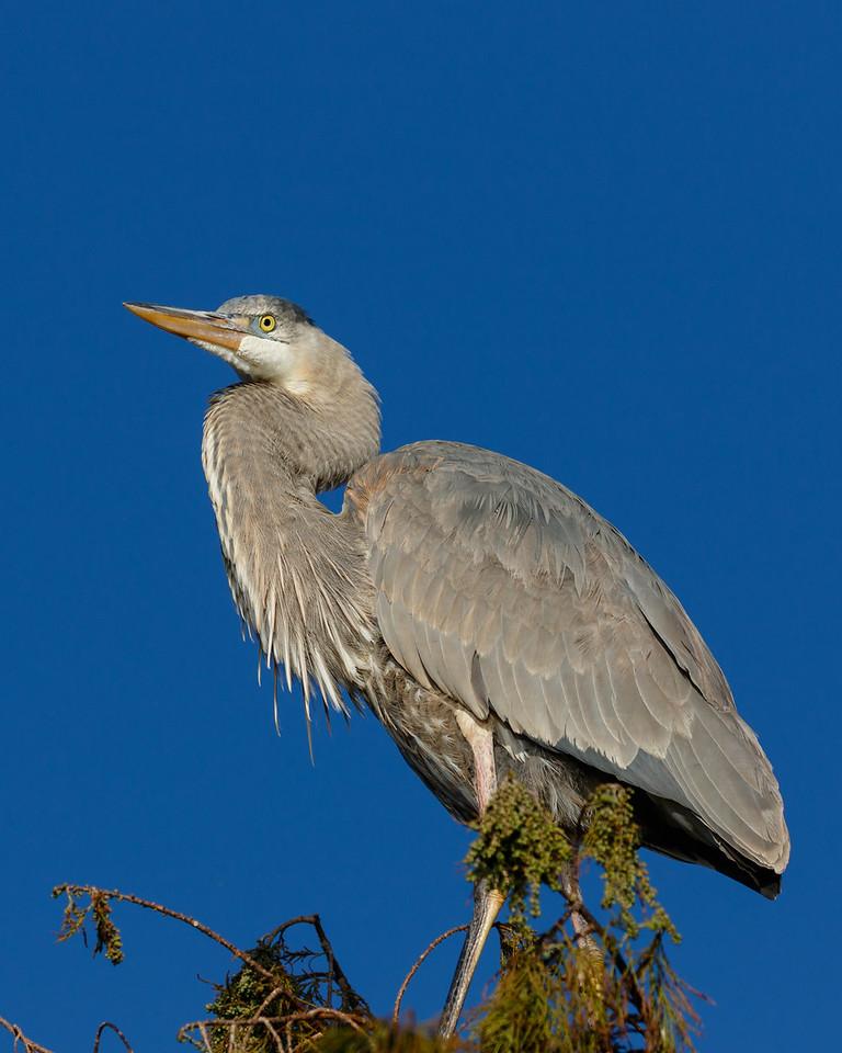 Great Blue Heron-6492