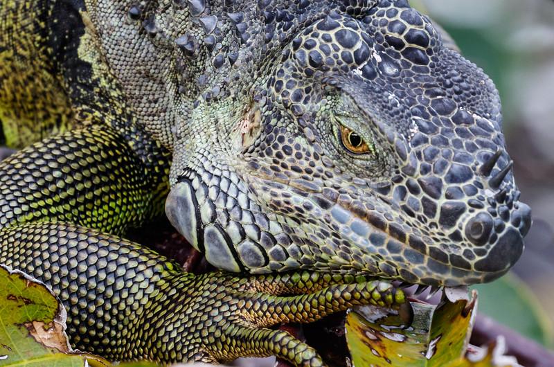 Iguana-0948