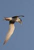 Tern Hunting