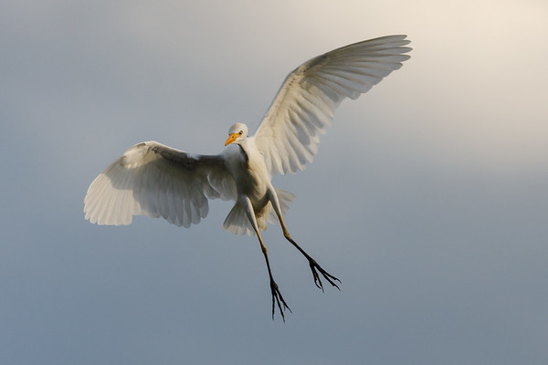 Cattle Egret Landing-2801