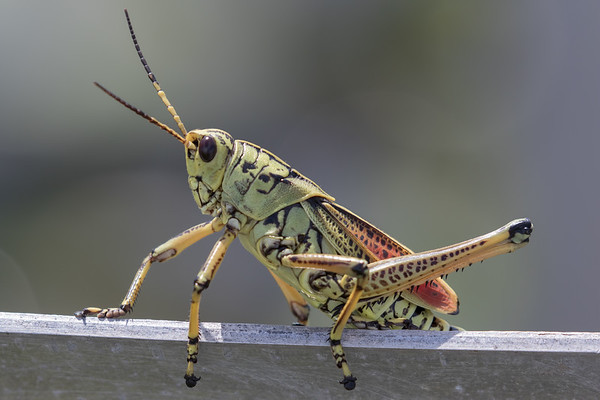 Lubber Grasshopper-9235