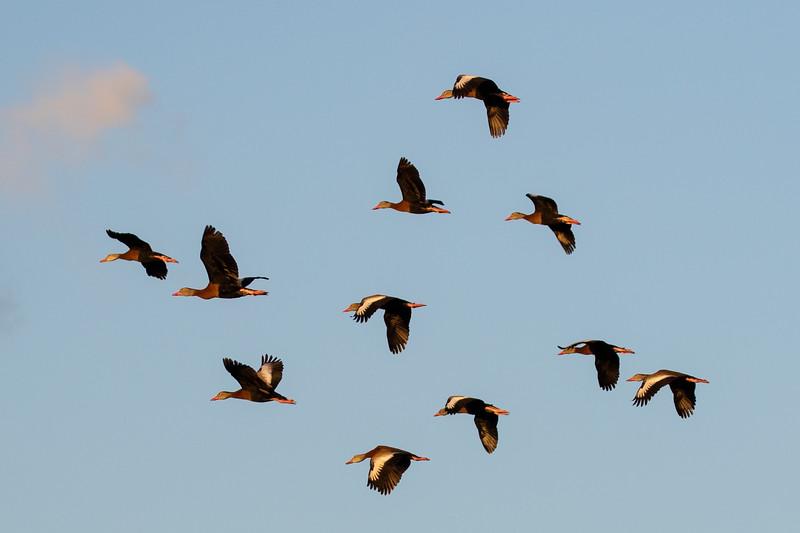 Squadren of Blackbellied Whistling Ducks-2