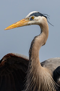 Great Blue Heron-3554