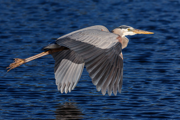 Great Blue Heron-1811