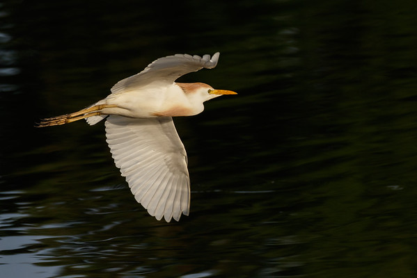 Cattle Egret in Flight-0305