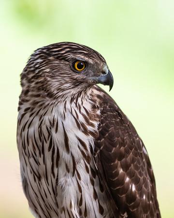 Immature Hawk-6229