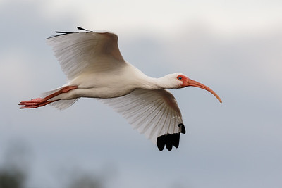 Ibis in Flight-1091