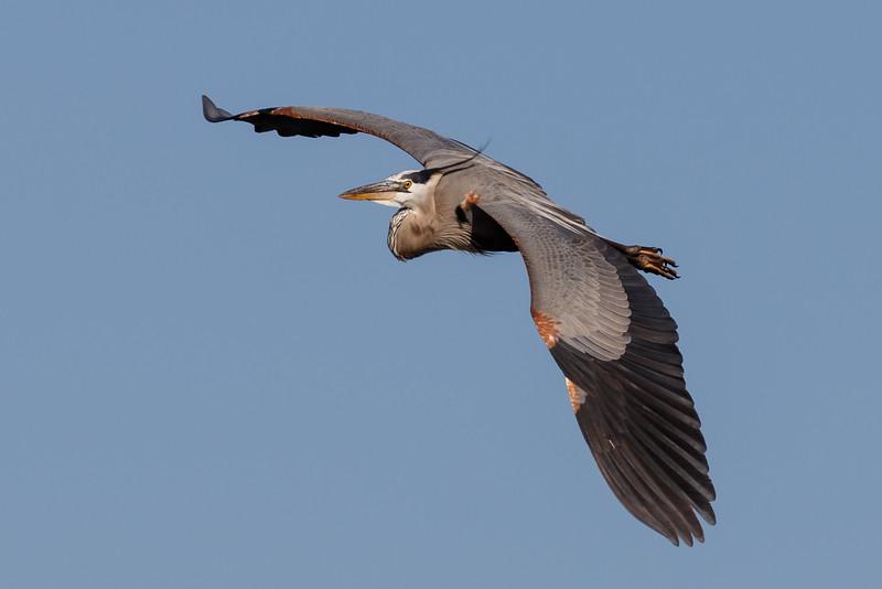 Great Blue Heron in Flight-9173
