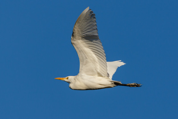 Flying Egret-6398