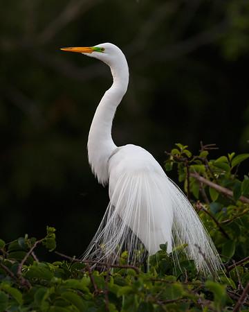 Snowy Egret-2949