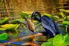 Anhinga Fishing-