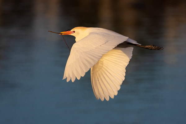 Cattle Egret-5888