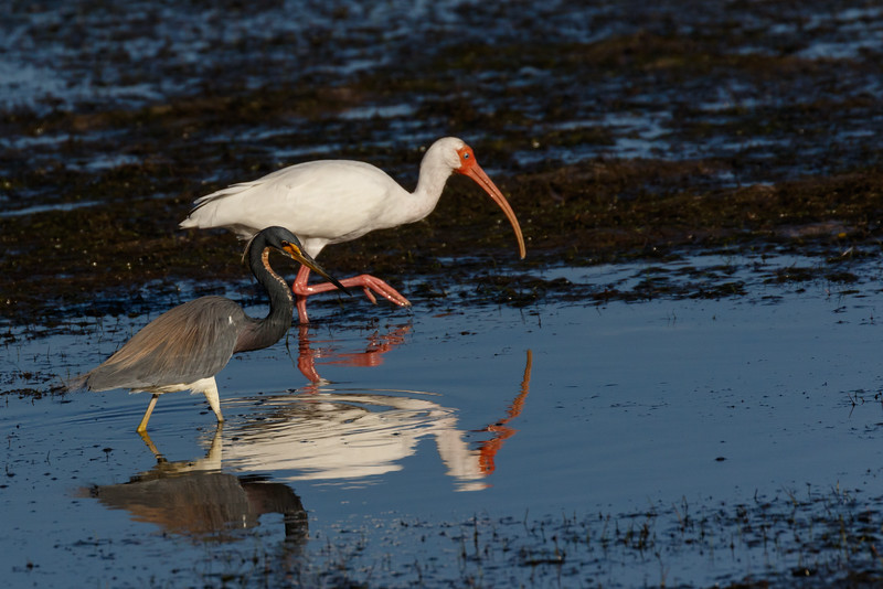 Heron and Ibis Sharing the Hunting Grounds-7670