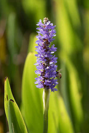 Backlit Pickerelweed-8644