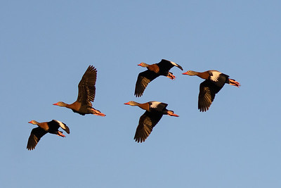 Squadron of Black Bellied Whisling Ducks-4487