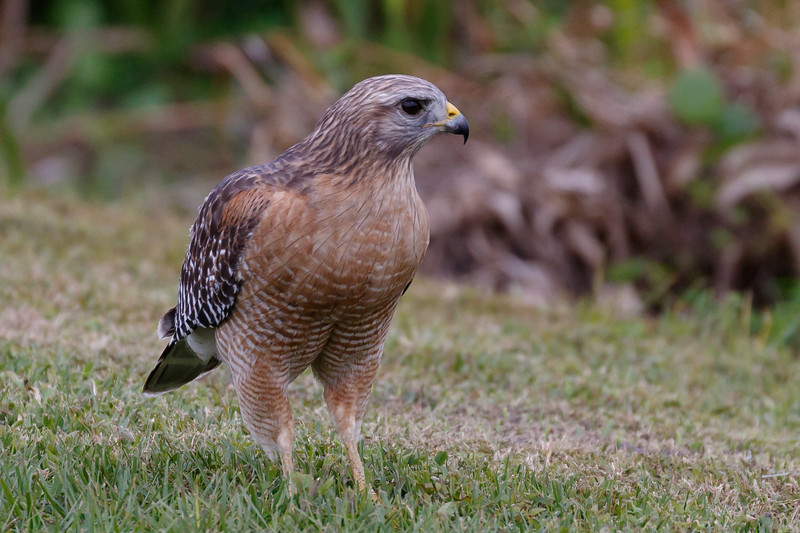 Red Shouldered Hawk-1982