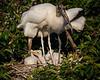 Wood Stork Family-5870