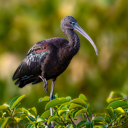 Glossy Ibis-3806 copy