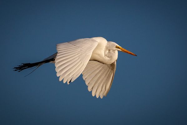 Great White Egret-4527-