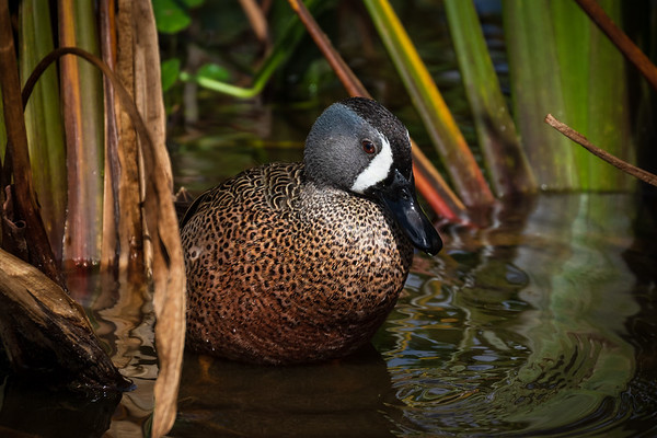 Blue Winged Teal-6530
