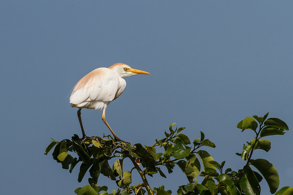 Cattle Egret-5345