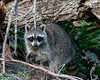 Foraging Racoon-0794