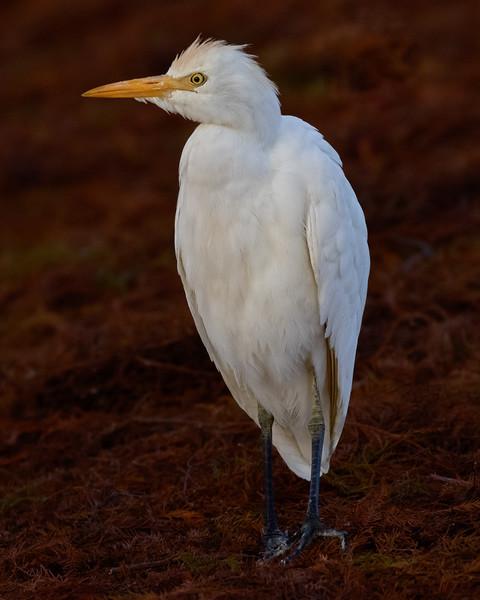 Cattle Egret-5907-