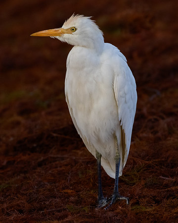Cattle Egret-5907-