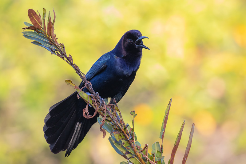 Boatailed Grackle-4626