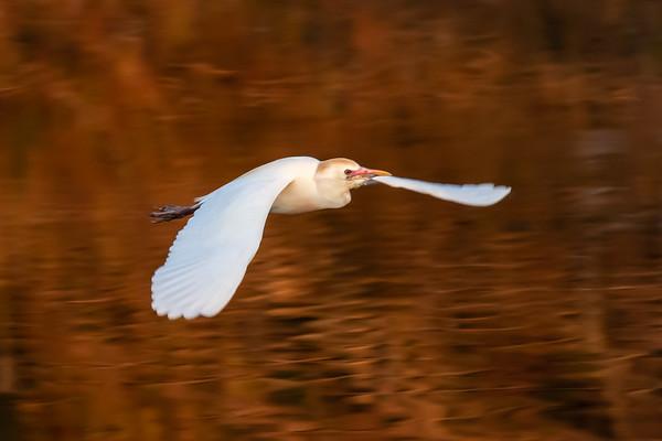 Cattle Egret in Monring Light