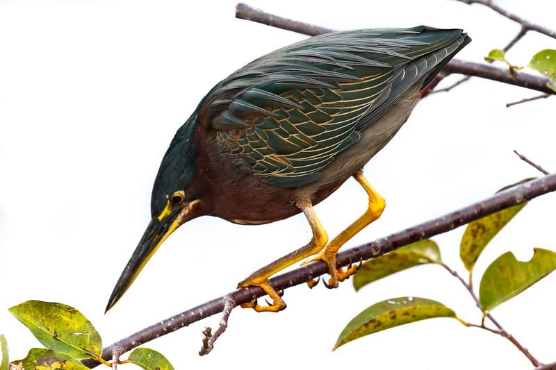 Green Heron-