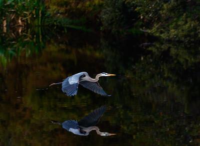 Great Blue Heron-4752