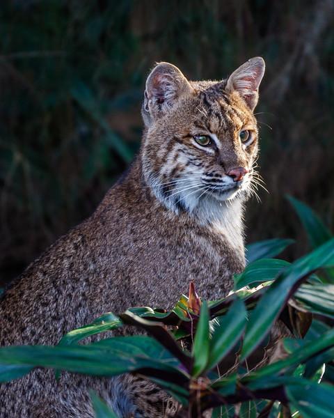 Florida Bobcat--2