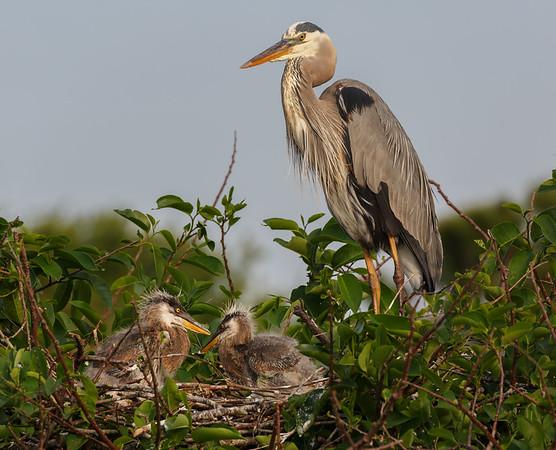 Great Heron Chicks-5116