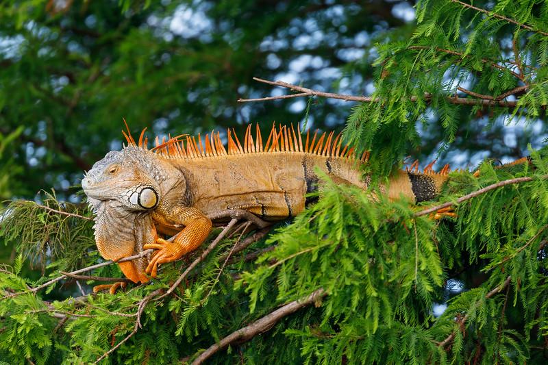 Orange Iguana-2550
