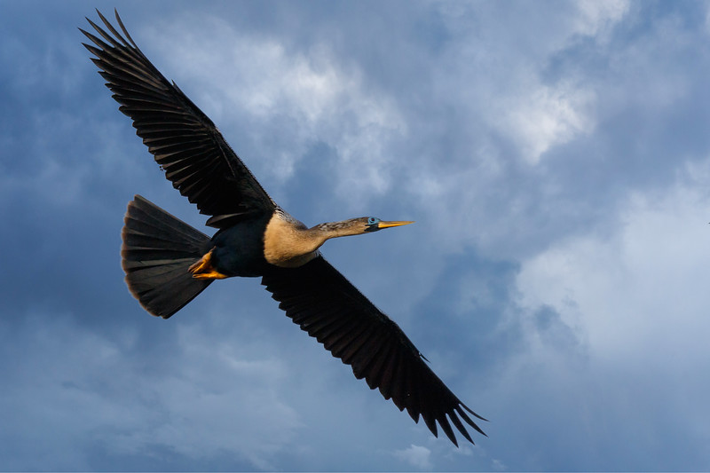 Snake Bird in Flight-2